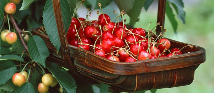 味美形娇的樱桃桌面壁纸